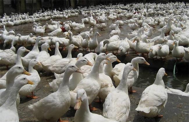 养鸭失败的原因有哪些