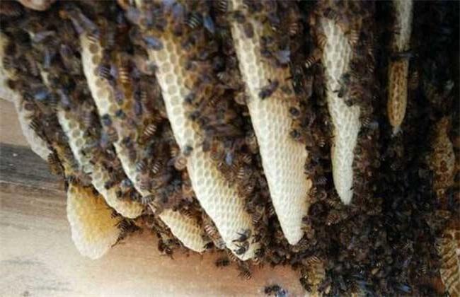 影响蜜蜂繁殖的原因是什么