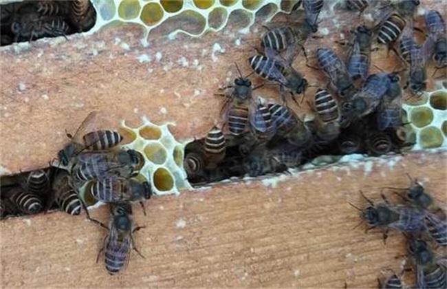 影响蜜蜂 繁殖 原因 蜜源 温度