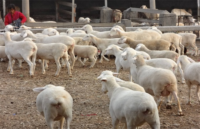 养羊 如何防止 近亲繁殖 危害