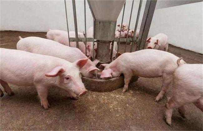 猪食欲不振原因及解决方法