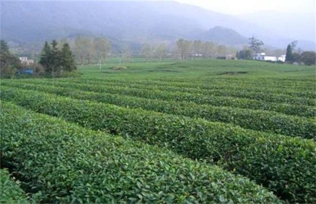 毛尖茶的种植管理要点