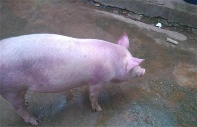 仔猪全身发红怎么办
