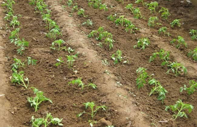 番茄的田间管理技术