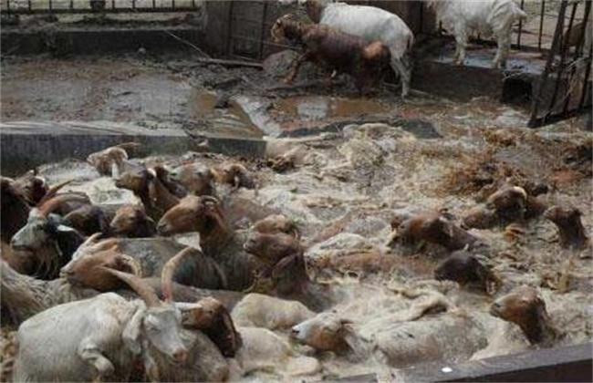羊常见寄生虫病防治方法