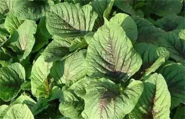 苋菜常见病虫害及防治