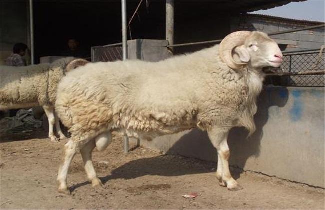 哪些母羊 要淘汰 发情障碍