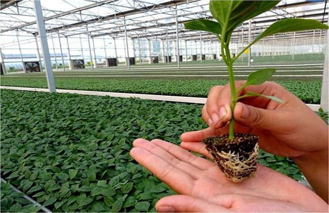 辣椒 育苗技术 繁殖方法