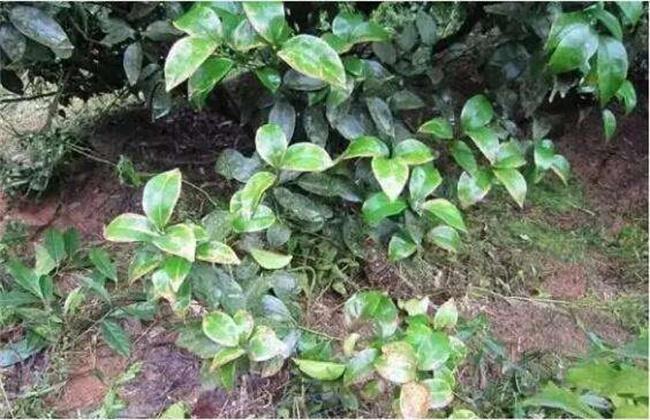 果树药害症状及补救措施