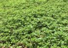 马齿苋的田间管理技术