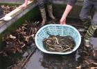黄鳝养殖如何提高产量