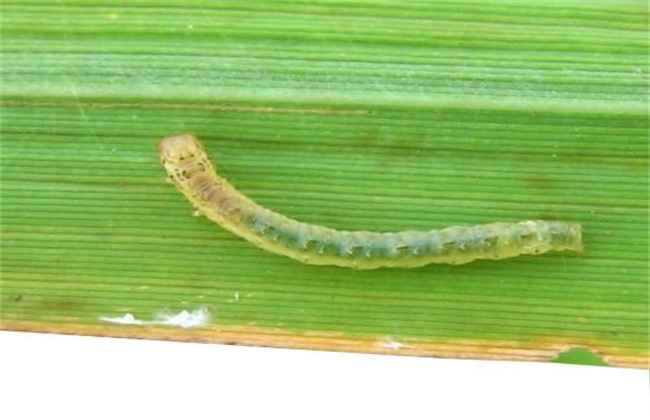 水稻卷叶螟的防治方法
