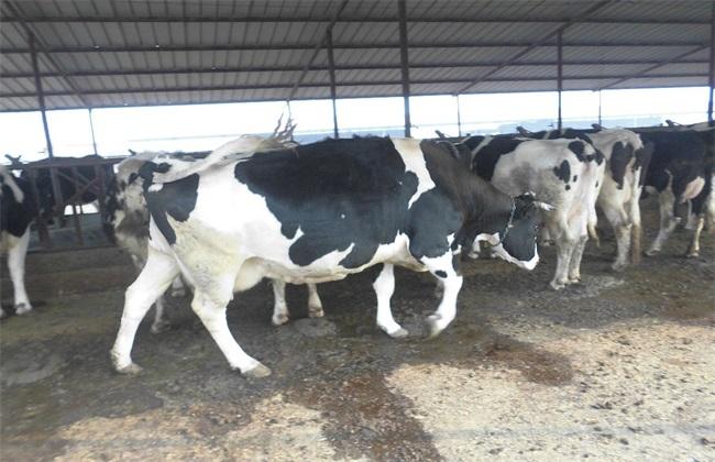 如何提高 奶牛 繁殖能力