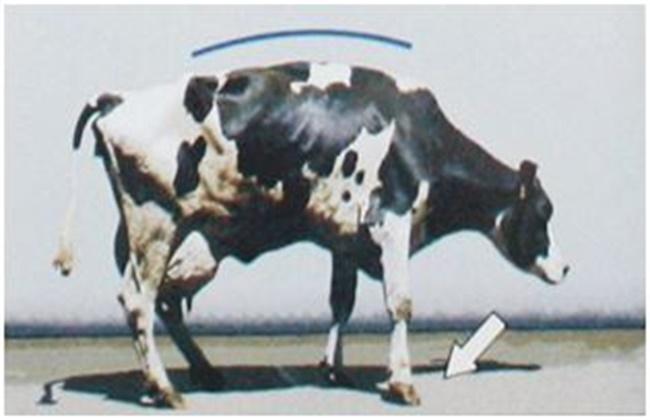 奶牛跛足原因及预防方法