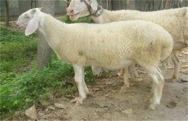母羊不发情原因及解决方法
