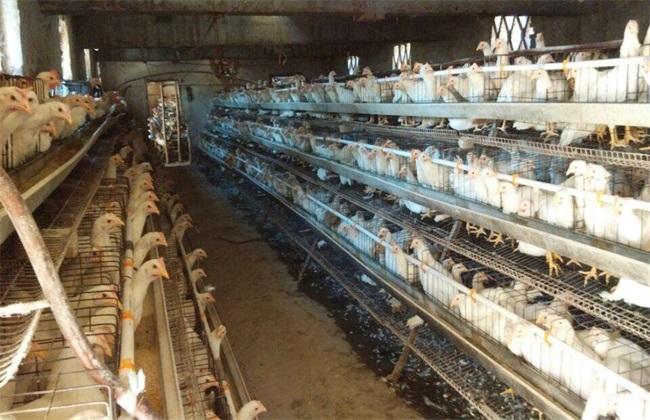 养鸡 养殖环境 鸡舍要求