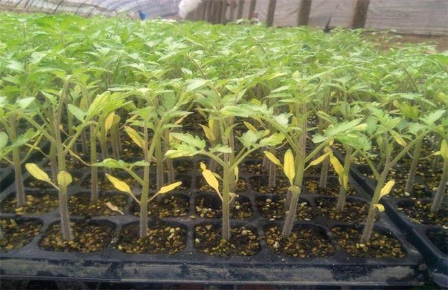 番茄 定植后 管理技术