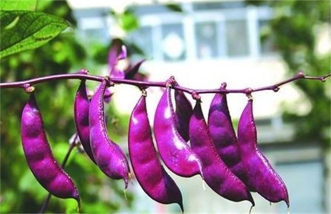 扁豆种植时间和方法