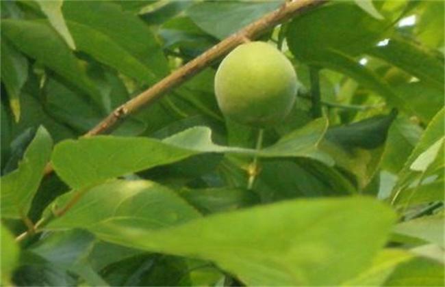 杏子树为什么只开花不结果图片