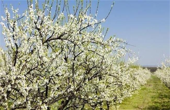 杏树第一年开花不结果图片