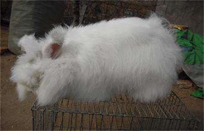 如何提高长毛兔兔毛质量