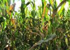 如何防治玉米大斑病