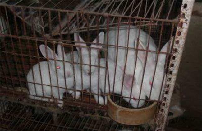 獭兔引种注意事项