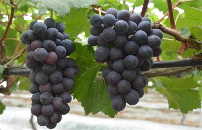 夏黑葡萄 种植 田间管理技术
