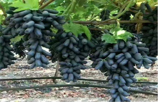 蓝宝石葡萄 优点 缺点