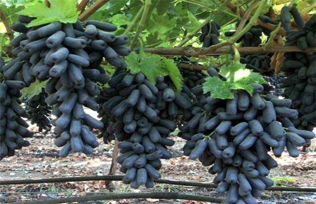 蓝宝石葡萄 成本 利润
