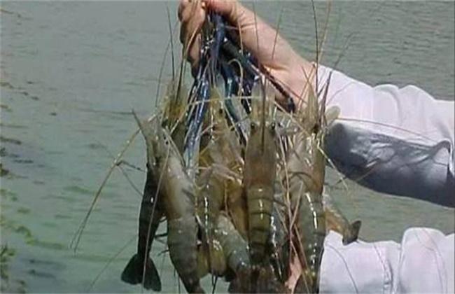 罗氏沼虾多少钱一斤