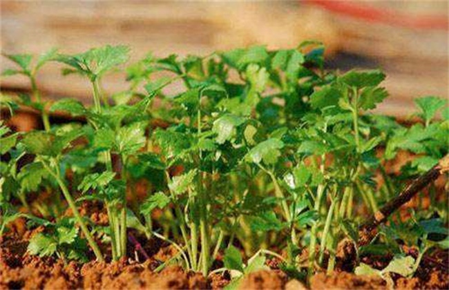 香菜施肥方法
