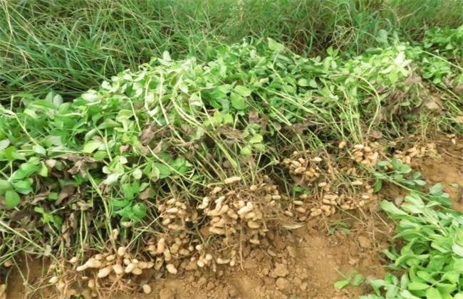 花生 如何种植 产量高