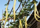 蛇瓜种植注意事项