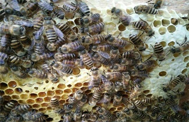 养殖蜜蜂 为什么 难赚到钱