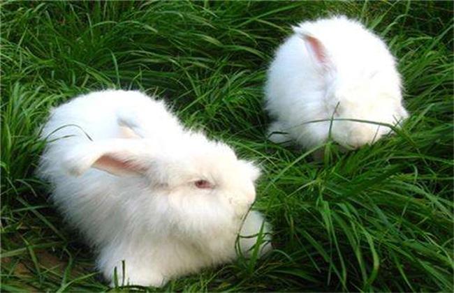 长毛兔 夏季养殖 饲养管理