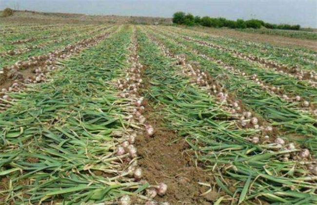 种植一亩大蒜 利润 成本