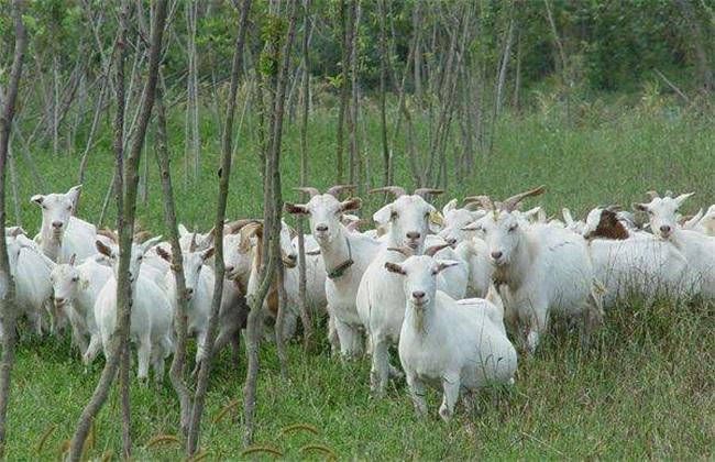 养羊 风险 注意事项