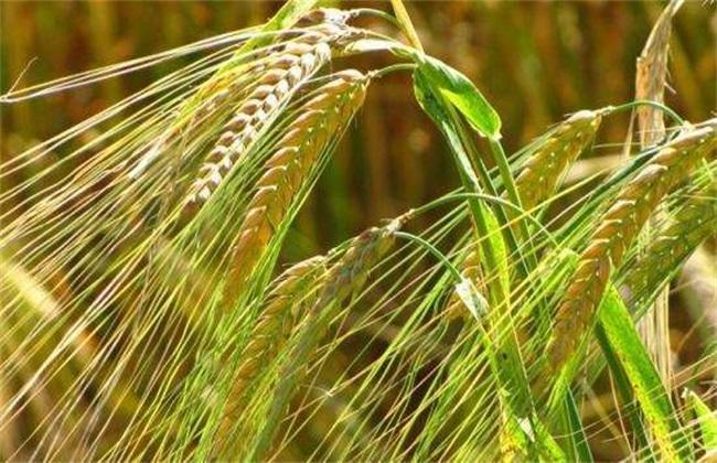 大麦种植注意事项