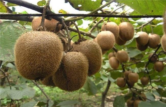 猕猴桃 夏季修剪 常见误区