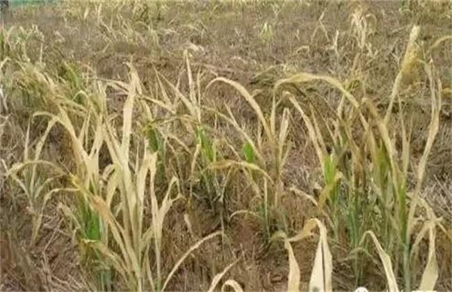 小麦药害原因及补救措施