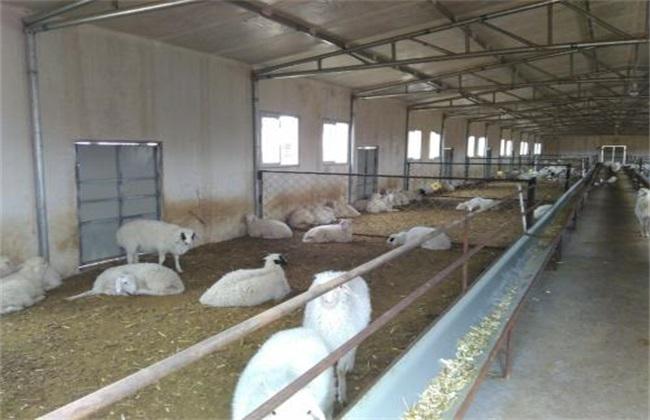 夏季 养羊 管理要点 注意事项