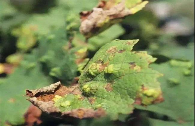荔枝毛毡病症状及防治