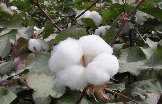 棉花 生长环境 种植条件