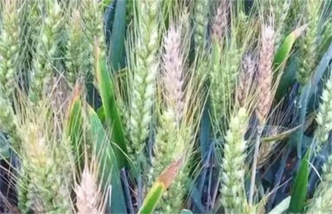 小麦死穗原因及防治措施