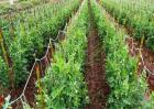 豌豆结荚期的管理