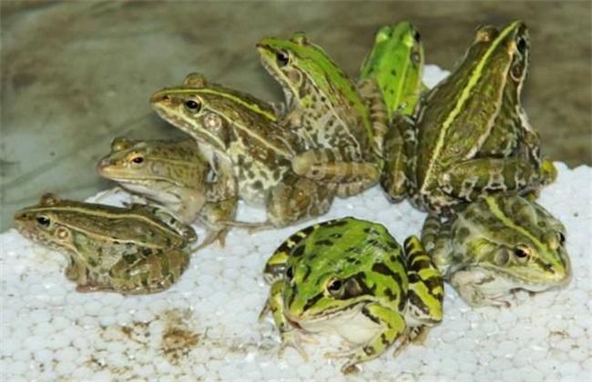 黑斑蛙养殖技术
