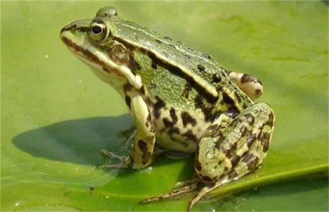 黑斑蛙 养殖技术 黑斑蛙养殖