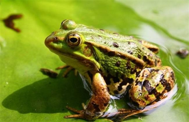 黑斑蛙养殖环境要求