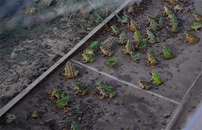 黑斑蛙 养殖条件 环境要求